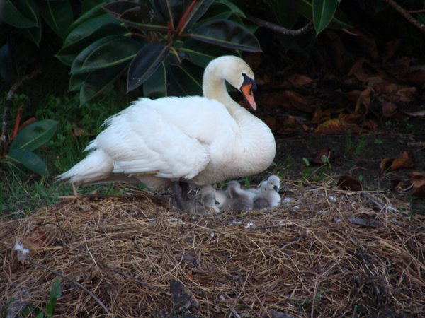 Mrs. Swan and the newest arrivals to Viera